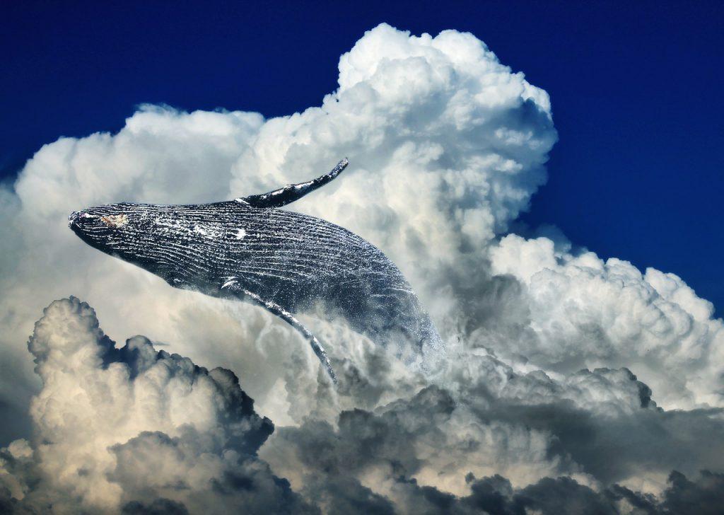 マウイ島沖でザトウクジラ救出