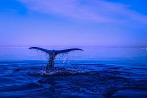ザトウクジラの数 2015年から減少